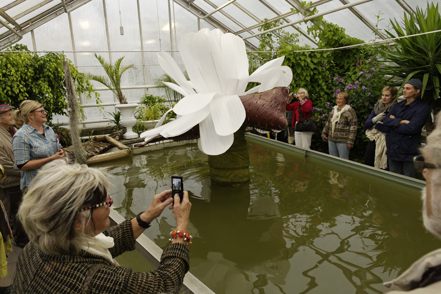 Giant Water Lily Victoria Amazonica